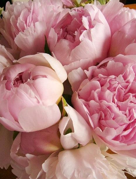 The Pink Peonies 209 best peonies, please! images on pinterest | flowers, pretty
