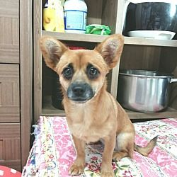 ADOPTED - PRAISE GOD! SPRINGFIELD, VA - SONIA is a a Toy Fox Terrier for adoption   who needs a loving home.