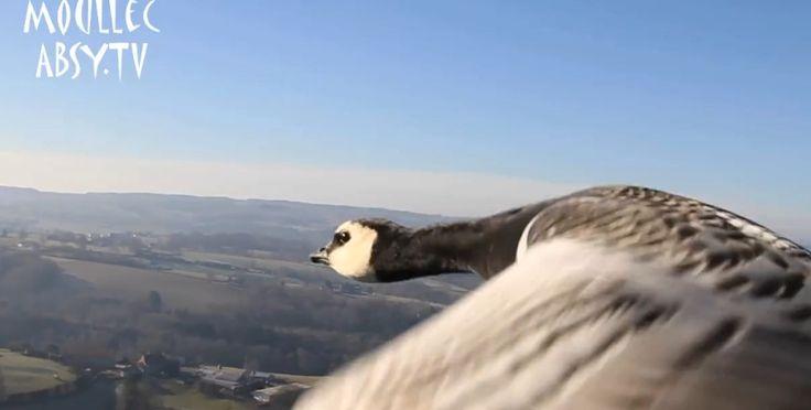 Météorologue et passionné d'ornithologie, Christian Moullec vole en ULM avec les oiseaux
