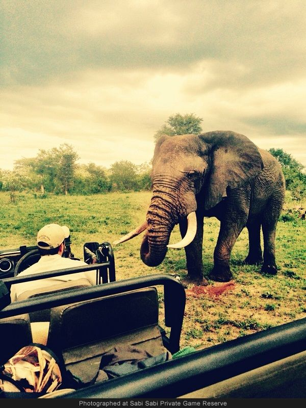 A relaxed and curious elephant bull approaches our vehicle and carries on feeding. Photo by Louise Barlow