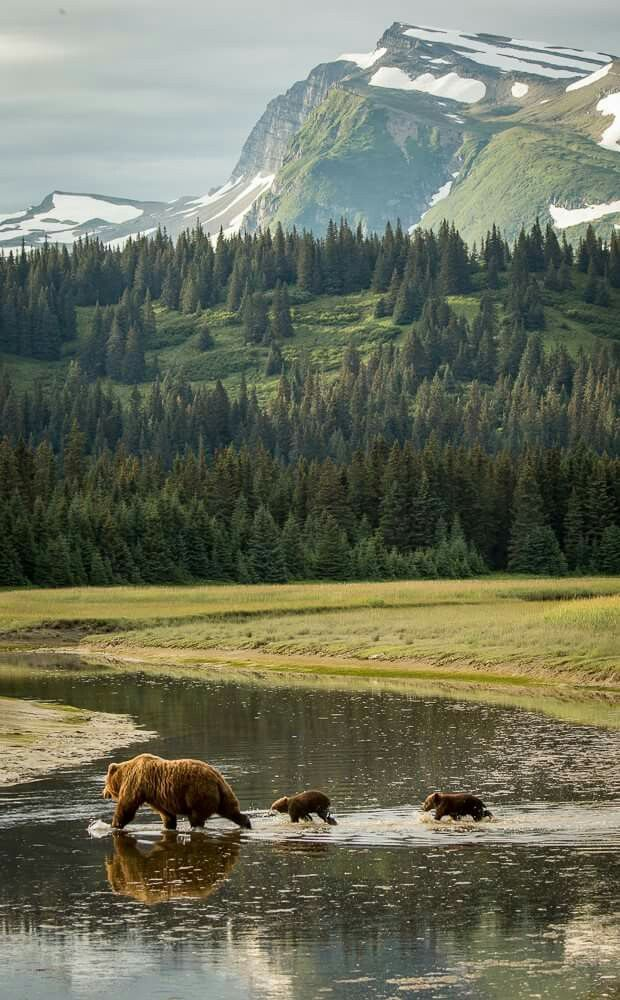 BEARS IN THEIR ENVIRONMENT The beauty of Lake Clark NP provides a magnificent backdrop for a bear sow and her cubs, Alaska. For more photos of international wildlife, go to http://rickcollinsphotographyonline.com