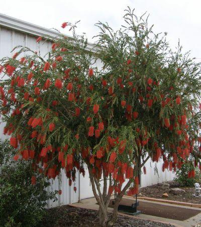 Another small tree that maintains green foliage year round -  bottle brush (Callistemon viminalis)