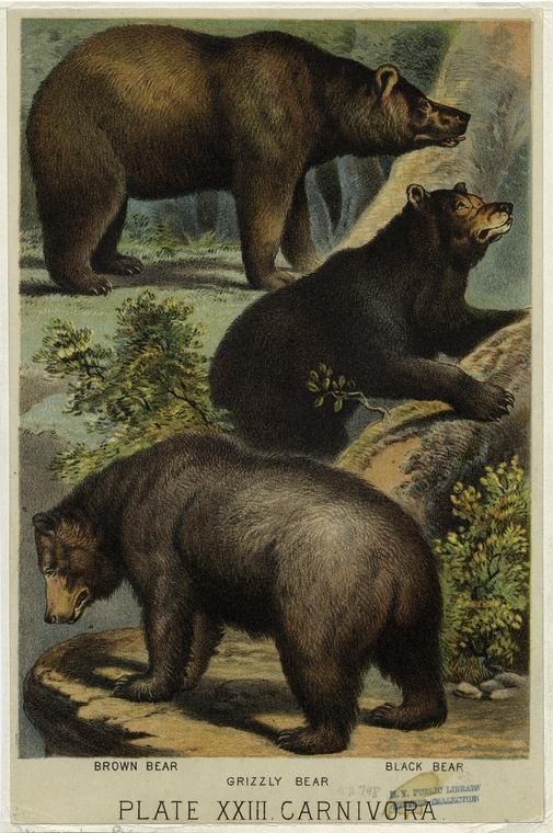 ny public library picture collection! online!     Image ID: 822058    Brown bear ; Grizzly bear ; Black bear. (c1880)
