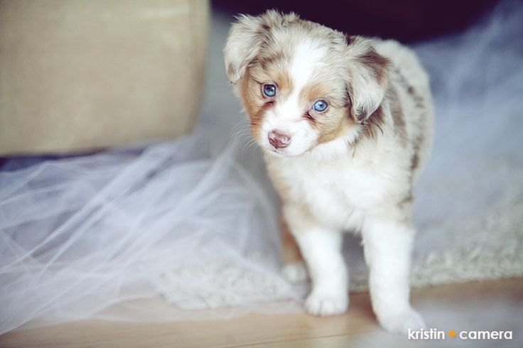 Toy Australian Shepherd (Aussie) puppy! How adorable.  I love red merle!