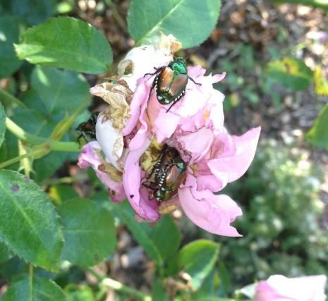 Make Your Own Natural Spray for Japanese Beetles from: http://www.finegardening.com/make-your-own-natural-spray-japanese-beetles