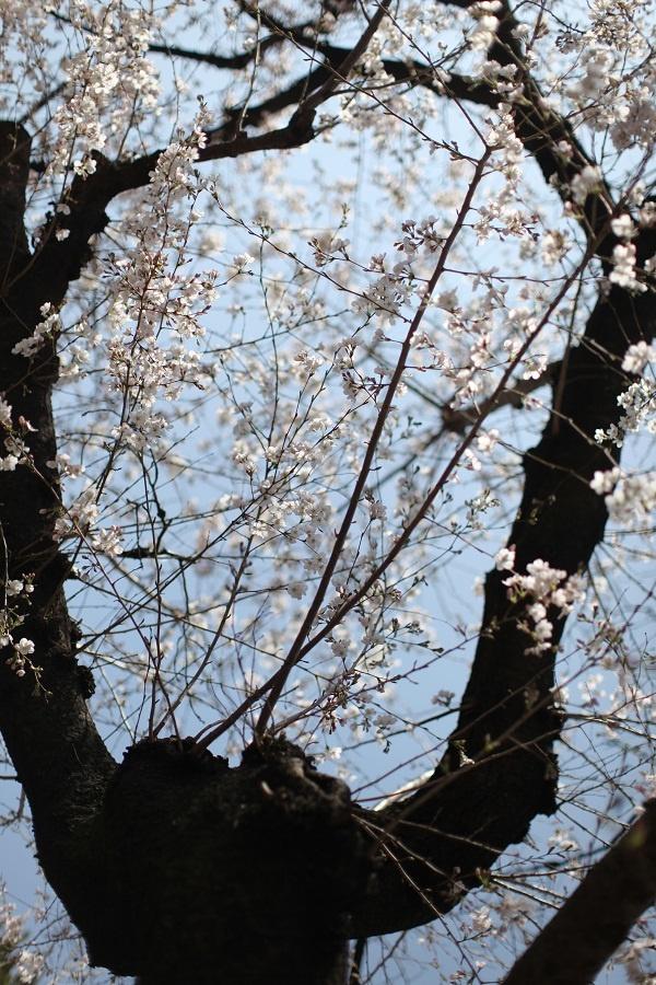 Sakura in Aoyama-2