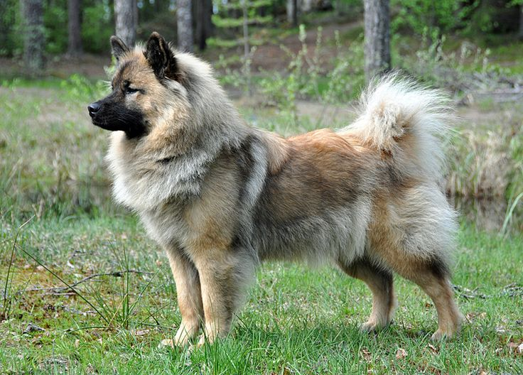 Eurasian Dog-Eurasiers are calm, even-tempered dogs. They are watchful and alert, yet reserved towards strangers without being timid or aggressive. Eurasiers form a strong link to their families. For the full development of these qualities, the Eurasier needs constant close contact with its family, combined with understanding, yet consistent, training.