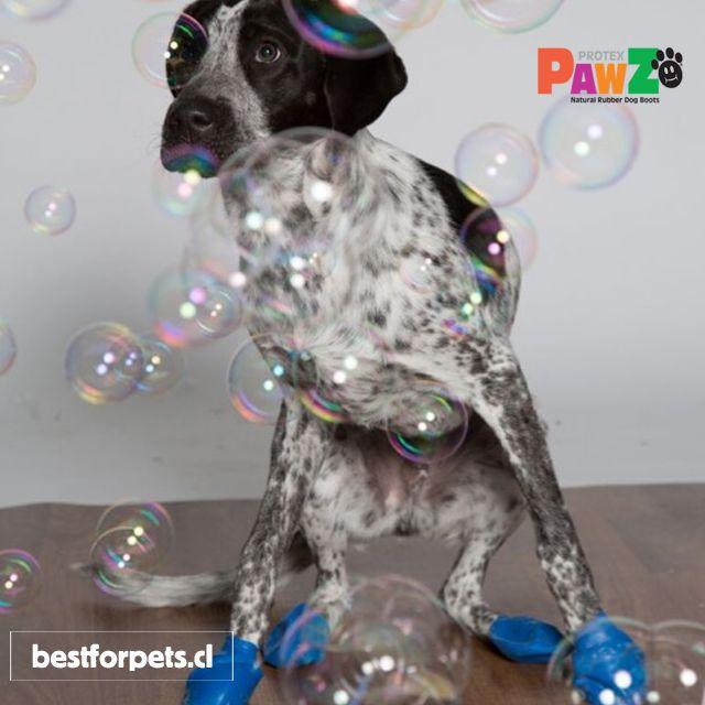 Pawz Dog Boots consiguen una máxima tracción dentro de la casa evitando que tu perro resbale. Ideales para los perritos con displasia o enfermedades de cadera y articulaciones