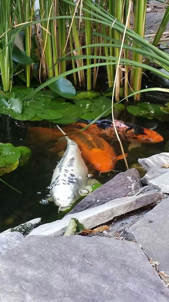 17 best images about goldfish on pinterest japanese koi for Artificial koi fish for ponds