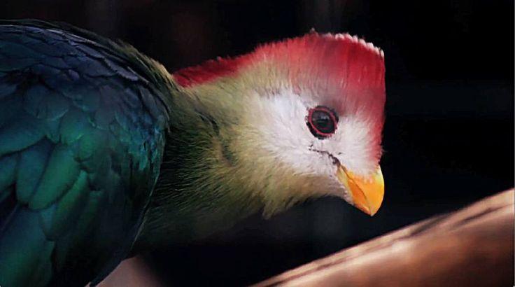 Pájaro se hace el Technicolor