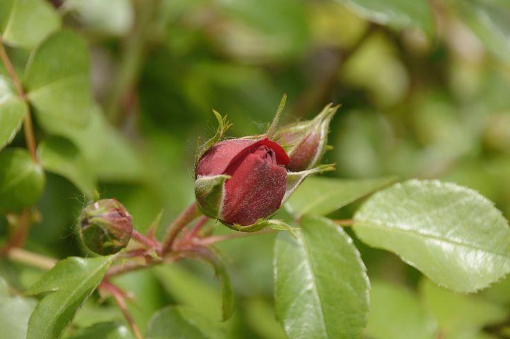 rosebud blossoming