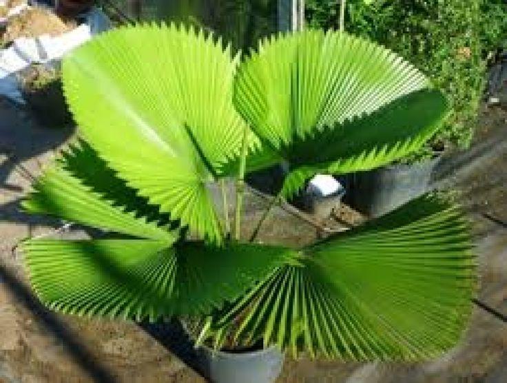 A Licuala, também conhecida como palmeira-leque é uma espécia de porte pequeno, que dificilmente consegue ultrapassar três metros de altura. Seu tronco é único e com um diâmetro pequeno. Uma palmeira que chama a atenção, por possuir folhas tão singulares. As folhas são de tamanho grande, redondas a triangulares, de coloração verde-brilhante, coriáceas, plissadas e com uma margem denteada. As suas flores possui de cor creme , que surgem quando as inflorescências ramificadas que despontam em…