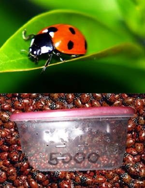 Lady bugs can be purchased by lots of up to 5000 for under $25. Really good deal. Live for a very long time better quality than any other place I have seen.