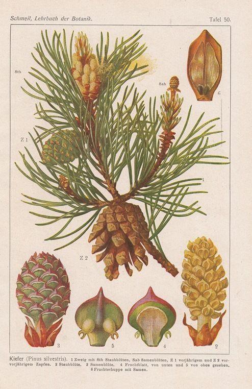 1921 botanik 3 drucke botanical prints kiefer haselnu. Black Bedroom Furniture Sets. Home Design Ideas