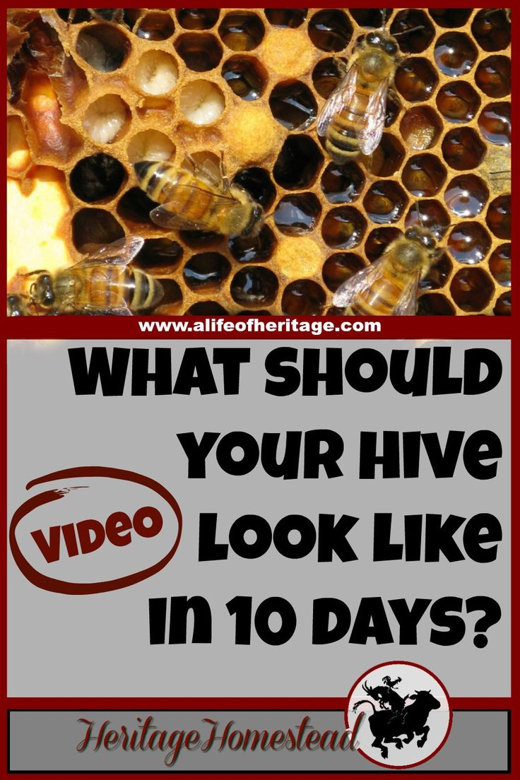 Bees | Bee Care | How to Bees | Bee Hive | What your hive may look like ten days after installing a bee package. The honey bee life cycle has most likely begun with eggs, larva and capped brood!