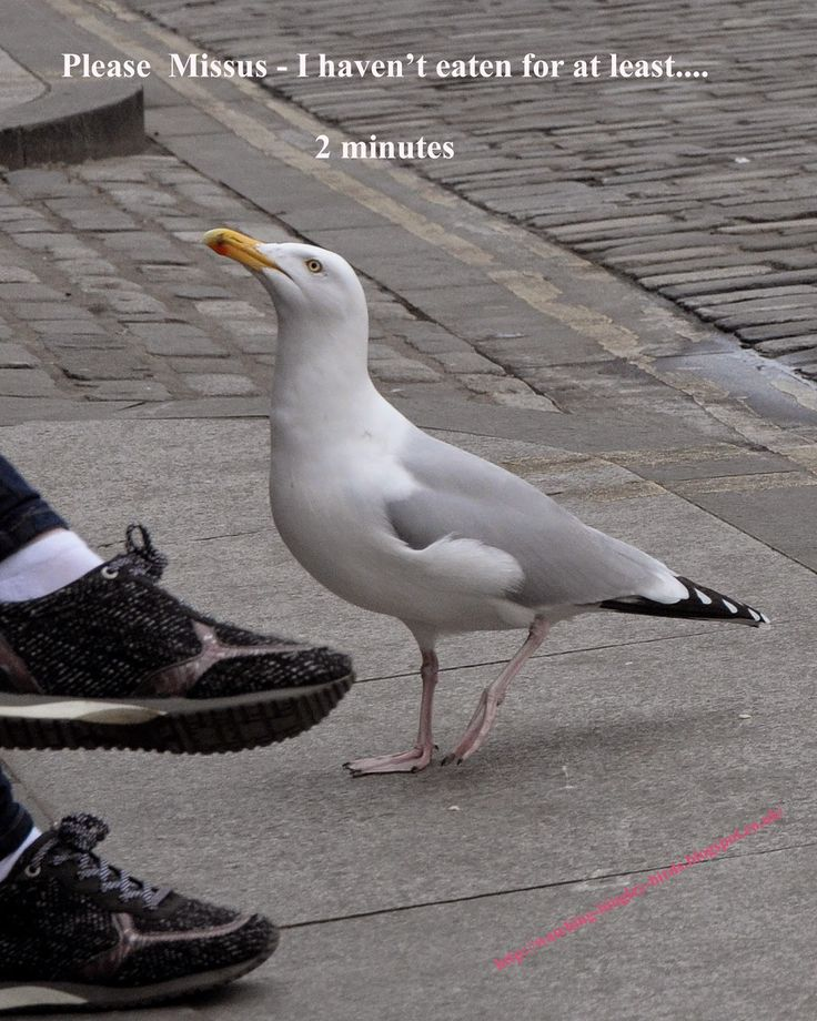 seagull begging for food