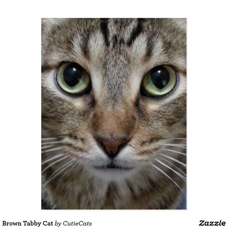 Brown Tabby Cat Postcard Orange tabby cats