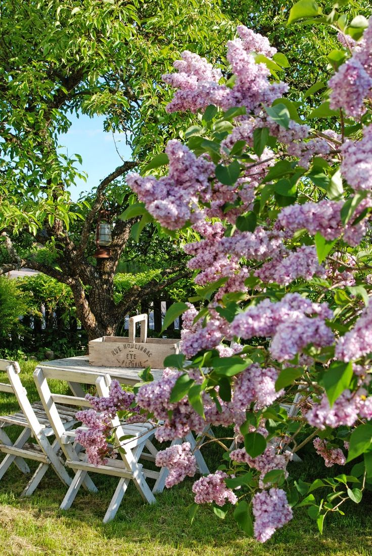 Sering - voor ergens achteraan in de tuin Bloeit in mei  voor snoei info: http://www.neerlandstuin.nl/struiken/syringa.html