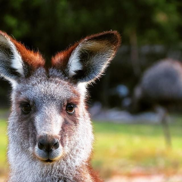 Close up shot of an oh-so-serious Grey Kangaroo, Tidbinbilla Nature Reserve in Canberra - Photo by  @mappingmegan