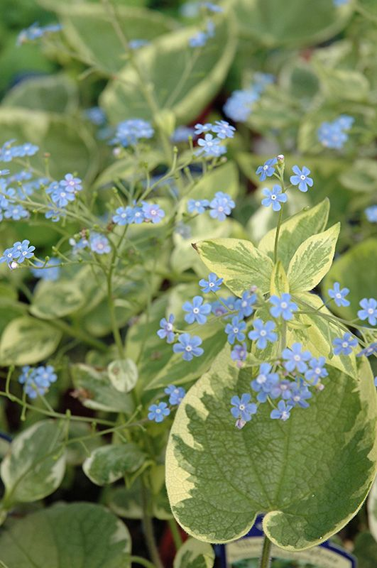 Click to view full-size photo of Hadspen Cream Bugloss (Brunnera macrophylla 'Hadspen Cream') at Plant World