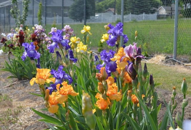 Blooming out of control: North Okanagan gardener admits abundance of irises an 'obsession' - InfoNews.ca