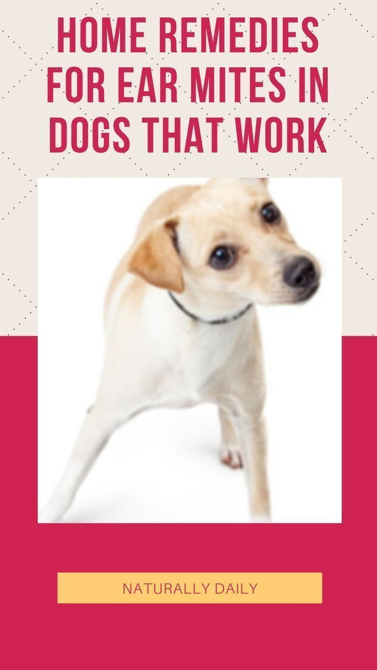 Ear Mites In Dogs 16 Home Remedies That Work Dog Ear Mites