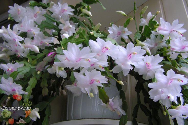 Декабрист – уход в домашних условиях, обрезка, полив, удобрение; когда должен цвести; что делать, чтобы зацвел; чем удобрять, почему вялые листья и тонкие, если декабрист залили, стал мягким