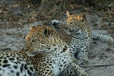 Leopard Cubs, South Africa