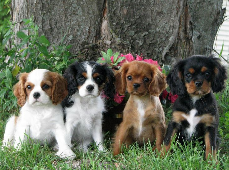 "lovebeautyawonderfulworld: "" Cavalier King Charles Spaniel puppies """