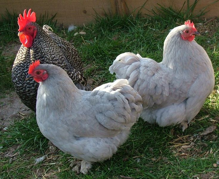 porcelain pekin bantam chicken | ... Lavender Pekin Bantam (Show Stock Quality) Hatching Chicken Eggs