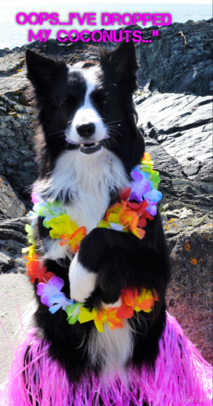 """""""Oops...I've dropped my Coconuts..."""" says Asha the border collie quickly covering her modesty not wanting to be a topless hula hula girl."""