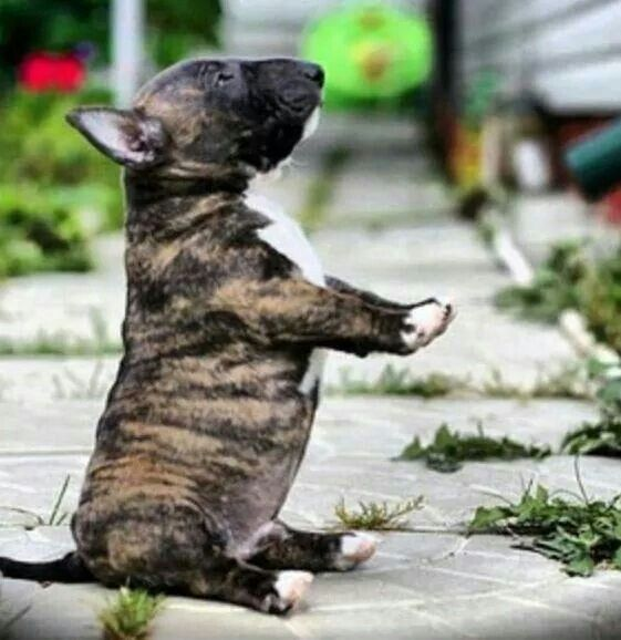 Scrummy little brindle pup.