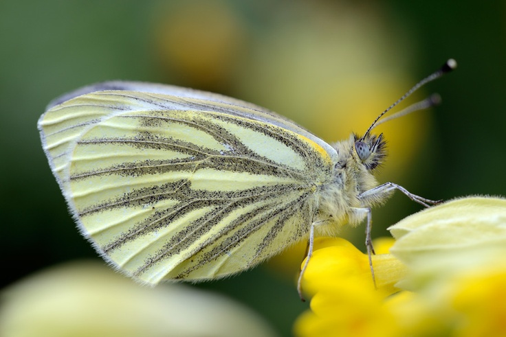 Greenveined White by Mark Johnson, via 500px (With images