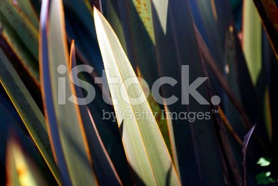 Harakeke Leaves (New Zealand Flax) royalty-free stock photo