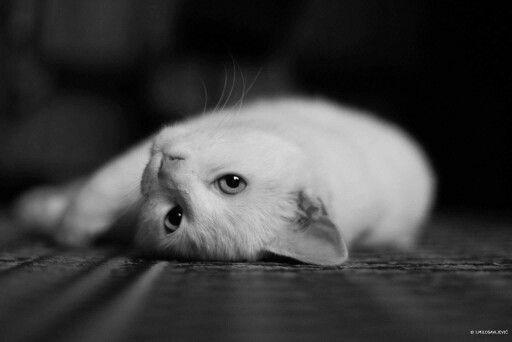 Witte kat ligt en kijkt lui