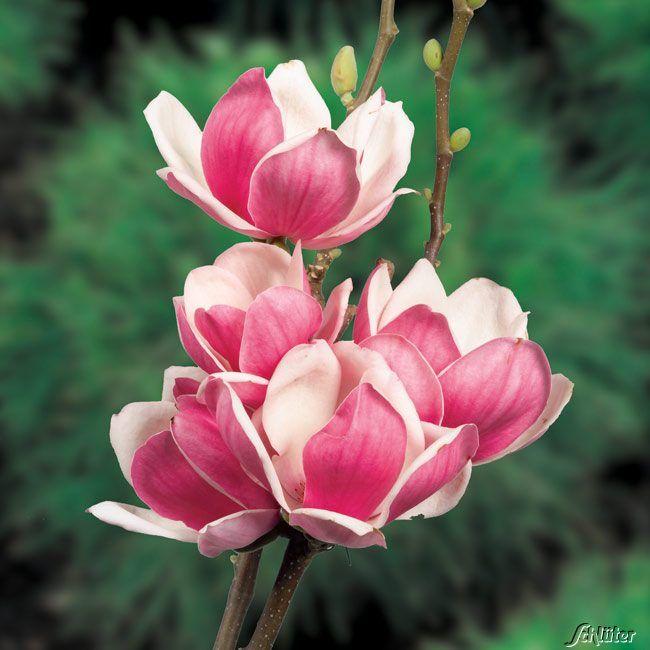 337 best magnolia images on pinterest plants flowers. Black Bedroom Furniture Sets. Home Design Ideas