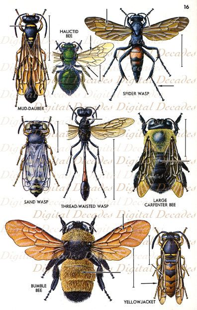 Vintage Bees and Other Flying Insects Art Illustration - Bumble Bee Bugs Science Specimen Mount - Digital Image. $3.00, via Etsy.