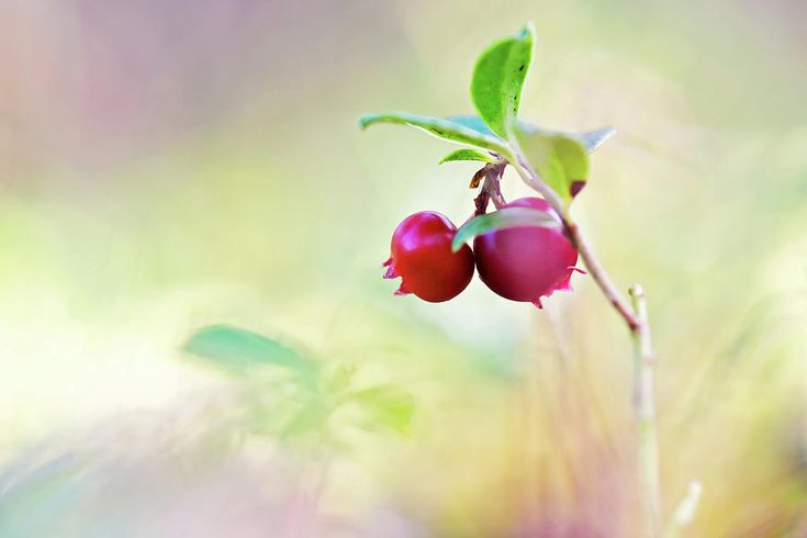 Autumn Gifts Photograph by Anna Maloverjan   #cowberry #lingonberry #partridgeberry #bilberry #whortleberry #foxberry  #red #huckleberry #berry #healthy #autumn #nature #macro #harvest