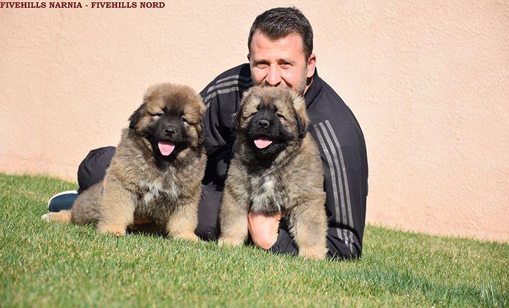 Fivehills Kennel Caucasian dog puppies
