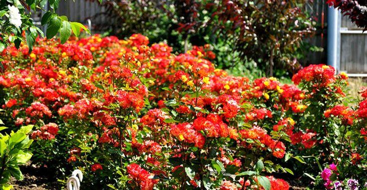 Trandafiri sănătoşi, fără chimicale. Cum? | Paradis Verde