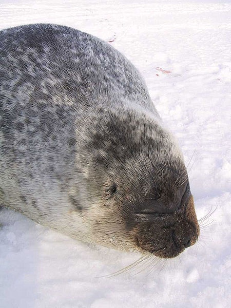 Ringed seal (Pusa hispida)