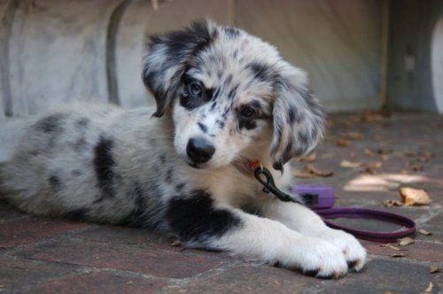 Blue Merle Australian Shepherd puppy, absolutely adorable.