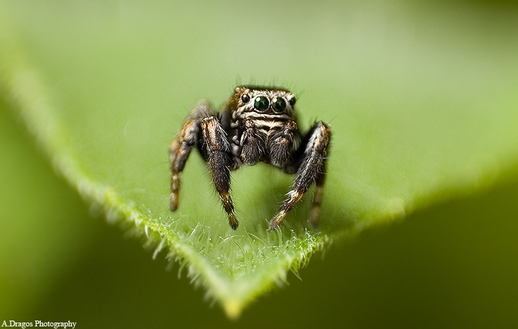 One of my best pictures, jumping spider.