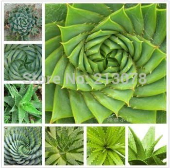 Aloe Vera, rotation aloe vera, Aloe polyphylla Succulents seed,  there are cosmetic effect of plant 100pcs