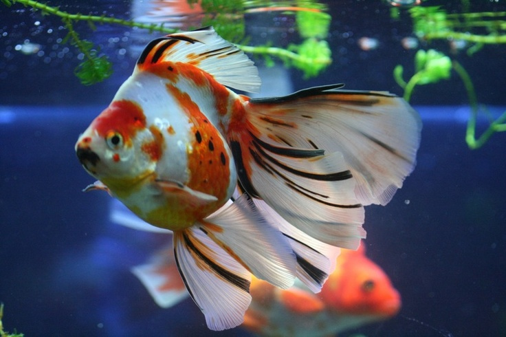 Beautiful goldfish something smells fishy pinterest for Fish tank smells