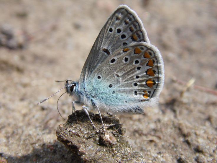 Motyl błękitny