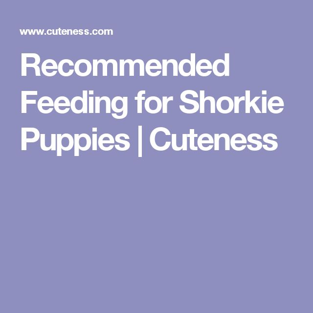 Recommended Feeding for Shorkie Puppies | Cuteness