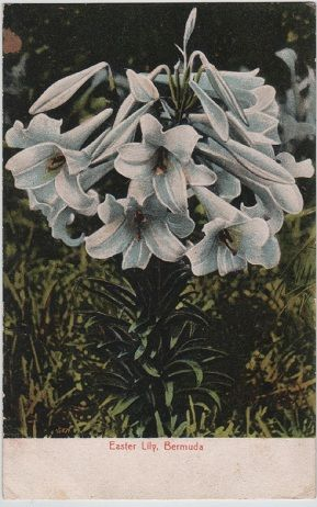 Easter Lily, Bermuda, Wm. Wales & Co. postcard