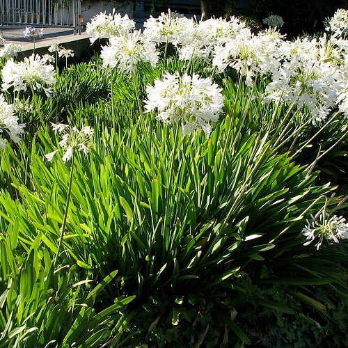 best 25+ agapanthe blanche ideas on pinterest | petit jardin à l