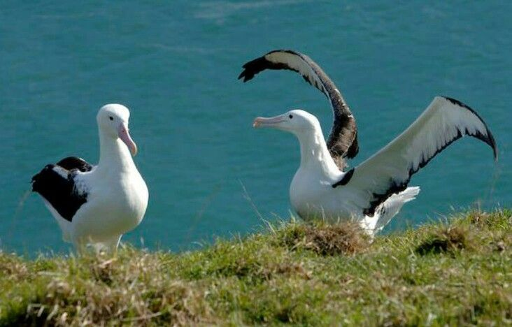 Albatross at Otago Peninsula Royal Albatross Center #travel #photography #newzealand #wildlife #nature